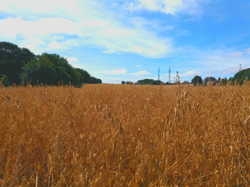 A view across a field of ripe barley bordered by woodland under a blue sky with wispy clouds