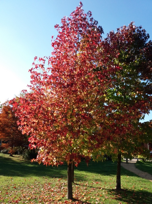 A flame red tree in a stand with two others catches bright autumn sunshine against blue sky and a background of other trees in the middle distance