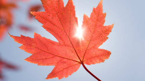 A red maple leaf in front of the sun, which is shining through between two lobes