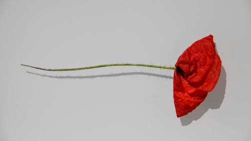 A single poppy, flat as if it has been pressed and preserved, lying across a neutral background